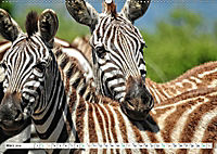 Streifen - Zebras in freier Wildbahn (Wandkalender 2019 DIN A2 quer) - Produktdetailbild 3