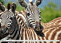Streifen - Zebras in freier Wildbahn (Wandkalender 2019 DIN A4 quer) - Produktdetailbild 3