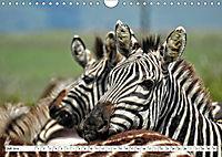 Streifen - Zebras in freier Wildbahn (Wandkalender 2019 DIN A4 quer) - Produktdetailbild 7