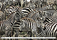 Streifen - Zebras in freier Wildbahn (Wandkalender 2019 DIN A4 quer) - Produktdetailbild 6