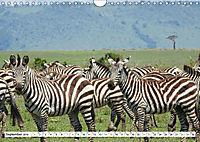 Streifen - Zebras in freier Wildbahn (Wandkalender 2019 DIN A4 quer) - Produktdetailbild 9