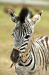 Stripes - Ein Zebra im Rennstall - Produktdetailbild 1