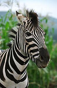 Stripes - Ein Zebra im Rennstall - Produktdetailbild 4