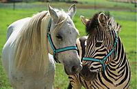 Stripes - Ein Zebra im Rennstall - Produktdetailbild 2