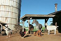 Stripes - Ein Zebra im Rennstall - Produktdetailbild 3
