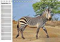 SÜDAFRIKAS Bergzebras (Tischkalender 2019 DIN A5 quer) - Produktdetailbild 9
