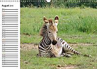 SÜDAFRIKAS Bergzebras (Wandkalender 2019 DIN A3 quer) - Produktdetailbild 8