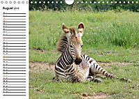 SÜDAFRIKAS Bergzebras (Wandkalender 2019 DIN A4 quer) - Produktdetailbild 8