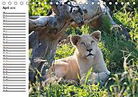 SÜDAFRIKAS Weiße Löwen (Tischkalender 2019 DIN A5 quer) - Produktdetailbild 4