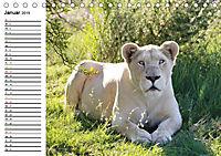SÜDAFRIKAS Weiße Löwen (Tischkalender 2019 DIN A5 quer) - Produktdetailbild 1