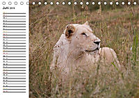 SÜDAFRIKAS Weiße Löwen (Tischkalender 2019 DIN A5 quer) - Produktdetailbild 6