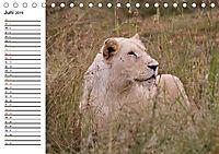 SÜDAFRIKAS Weisse Löwen (Tischkalender 2019 DIN A5 quer) - Produktdetailbild 6