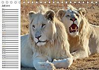 SÜDAFRIKAS Weisse Löwen (Tischkalender 2019 DIN A5 quer) - Produktdetailbild 7