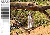 SÜDAFRIKAS Weiße Löwen (Tischkalender 2019 DIN A5 quer) - Produktdetailbild 9