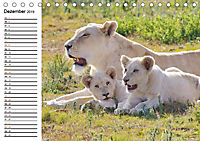 SÜDAFRIKAS Weiße Löwen (Tischkalender 2019 DIN A5 quer) - Produktdetailbild 12
