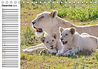 SÜDAFRIKAS Weisse Löwen (Tischkalender 2019 DIN A5 quer) - Produktdetailbild 12