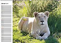 SÜDAFRIKAS Weiße Löwen (Wandkalender 2019 DIN A2 quer) - Produktdetailbild 1