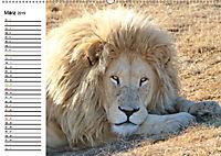 SÜDAFRIKAS Weiße Löwen (Wandkalender 2019 DIN A2 quer) - Produktdetailbild 3