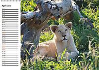 SÜDAFRIKAS Weisse Löwen (Wandkalender 2019 DIN A2 quer) - Produktdetailbild 4