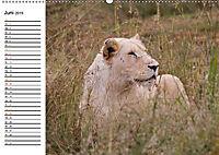 SÜDAFRIKAS Weiße Löwen (Wandkalender 2019 DIN A2 quer) - Produktdetailbild 6