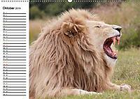 SÜDAFRIKAS Weiße Löwen (Wandkalender 2019 DIN A2 quer) - Produktdetailbild 10