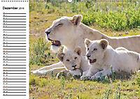 SÜDAFRIKAS Weiße Löwen (Wandkalender 2019 DIN A2 quer) - Produktdetailbild 12