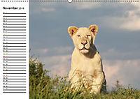 SÜDAFRIKAS Weisse Löwen (Wandkalender 2019 DIN A2 quer) - Produktdetailbild 11