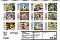 SÜDAFRIKAS Weiße Löwen (Wandkalender 2019 DIN A2 quer) - Produktdetailbild 13