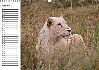 SÜDAFRIKAS Weisse Löwen (Wandkalender 2019 DIN A3 quer) - Produktdetailbild 6
