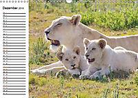 SÜDAFRIKAS Weisse Löwen (Wandkalender 2019 DIN A3 quer) - Produktdetailbild 12