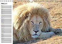 SÜDAFRIKAS Weiße Löwen (Wandkalender 2019 DIN A4 quer) - Produktdetailbild 3