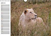 SÜDAFRIKAS Weiße Löwen (Wandkalender 2019 DIN A4 quer) - Produktdetailbild 6
