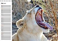 SÜDAFRIKAS Weiße Löwen (Wandkalender 2019 DIN A4 quer) - Produktdetailbild 5