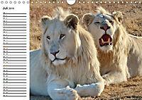SÜDAFRIKAS Weiße Löwen (Wandkalender 2019 DIN A4 quer) - Produktdetailbild 7