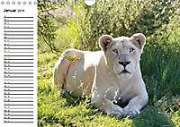 SÜDAFRIKAS Weiße Löwen (Wandkalender 2019 DIN A4 quer) - Produktdetailbild 1