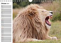 SÜDAFRIKAS Weiße Löwen (Wandkalender 2019 DIN A4 quer) - Produktdetailbild 10