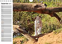 SÜDAFRIKAS Weiße Löwen (Wandkalender 2019 DIN A4 quer) - Produktdetailbild 9