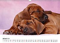 Süsse Träume 2019 - schlafende Hundewelpen (Wandkalender 2019 DIN A3 quer) - Produktdetailbild 1