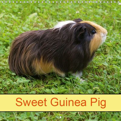 Sweet Guinea Pig (Wall Calendar 2019 300 × 300 mm Square), k.A. Kattobello