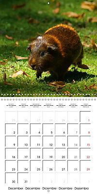 Sweet Guinea Pig (Wall Calendar 2019 300 × 300 mm Square) - Produktdetailbild 12