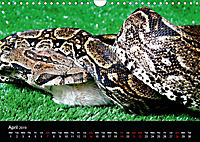 The Beauty of the Boa Constrictors (Wall Calendar 2019 DIN A4 Landscape) - Produktdetailbild 4