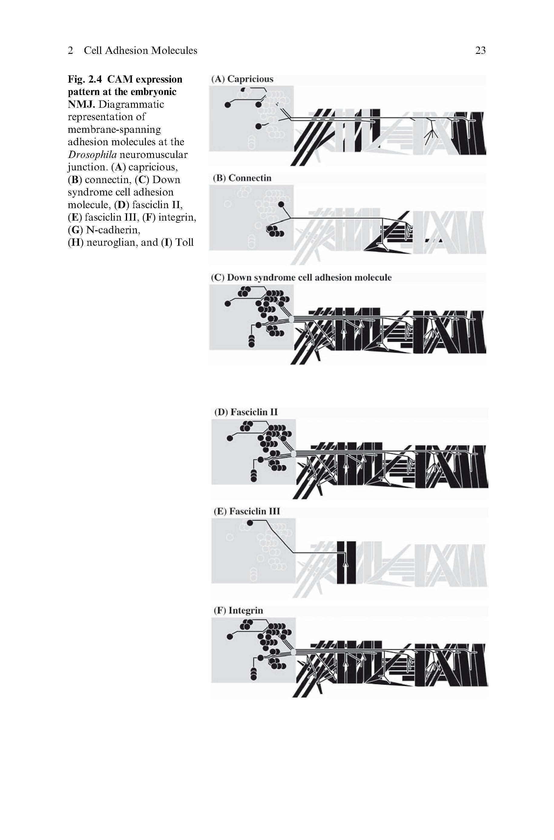 The Sticky Synapse Buch Jetzt Versandkostenfrei Bei Weltbild