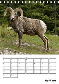 Tiere der kanadischen Rocky Mountains (Tischkalender 2019 DIN A5 hoch) - Produktdetailbild 4