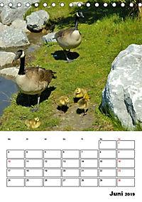 Tiere der kanadischen Rocky Mountains (Tischkalender 2019 DIN A5 hoch) - Produktdetailbild 6