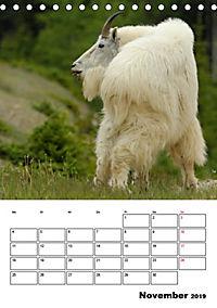 Tiere der kanadischen Rocky Mountains (Tischkalender 2019 DIN A5 hoch) - Produktdetailbild 11