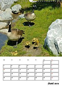 Tiere der kanadischen Rocky Mountains (Wandkalender 2019 DIN A3 hoch) - Produktdetailbild 6
