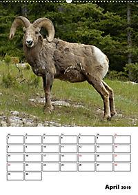 Tiere der kanadischen Rocky Mountains (Wandkalender 2019 DIN A2 hoch) - Produktdetailbild 4