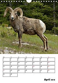 Tiere der kanadischen Rocky Mountains (Wandkalender 2019 DIN A4 hoch) - Produktdetailbild 4