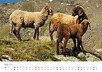 Tiere in Freiheit - Nutztiere auf der Alm (Wandkalender 2019 DIN A2 quer) - Produktdetailbild 5