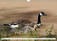Tierwelt in den Canadian Rockies (Wandkalender 2019 DIN A4 quer) - Produktdetailbild 6